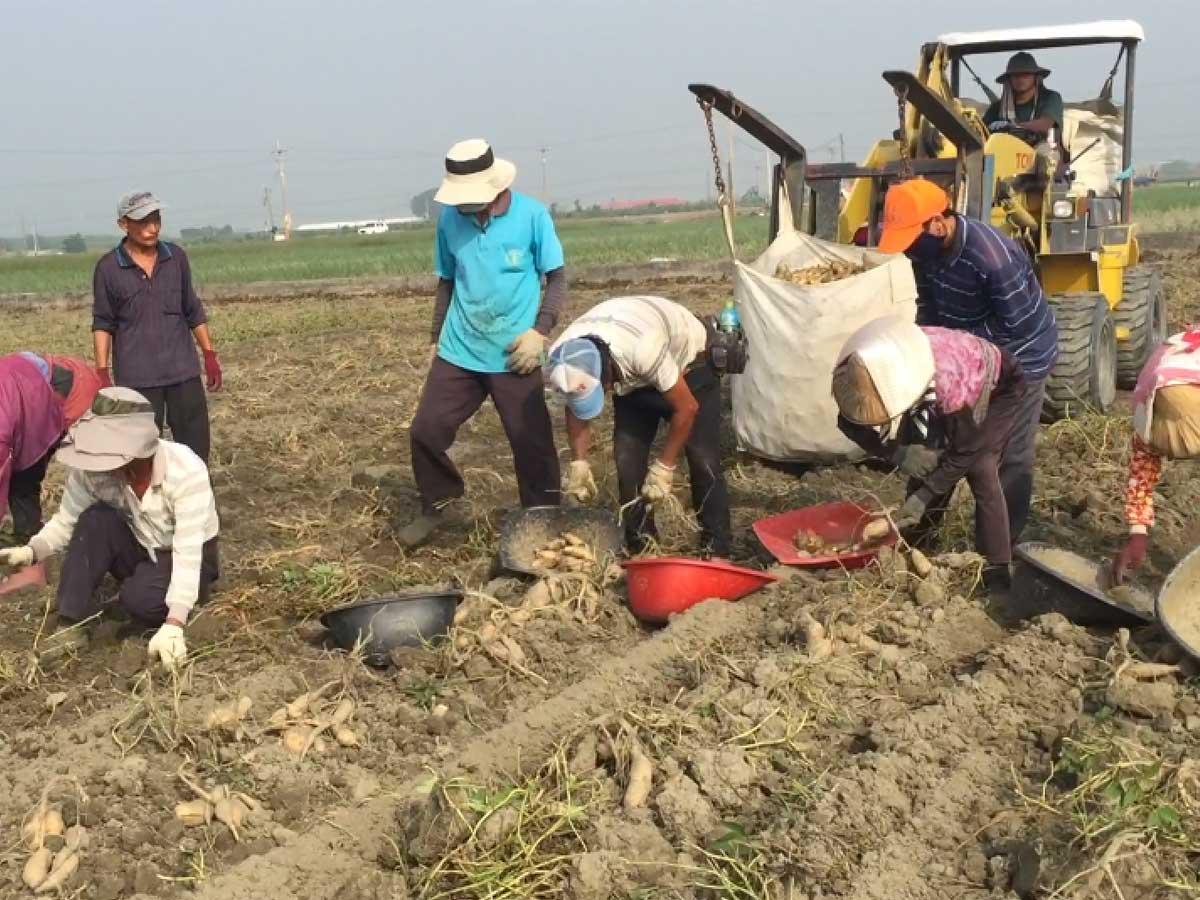 水林鄉大溝村民在台農57號黃金地瓜採收期是又忙碌又喜悅…