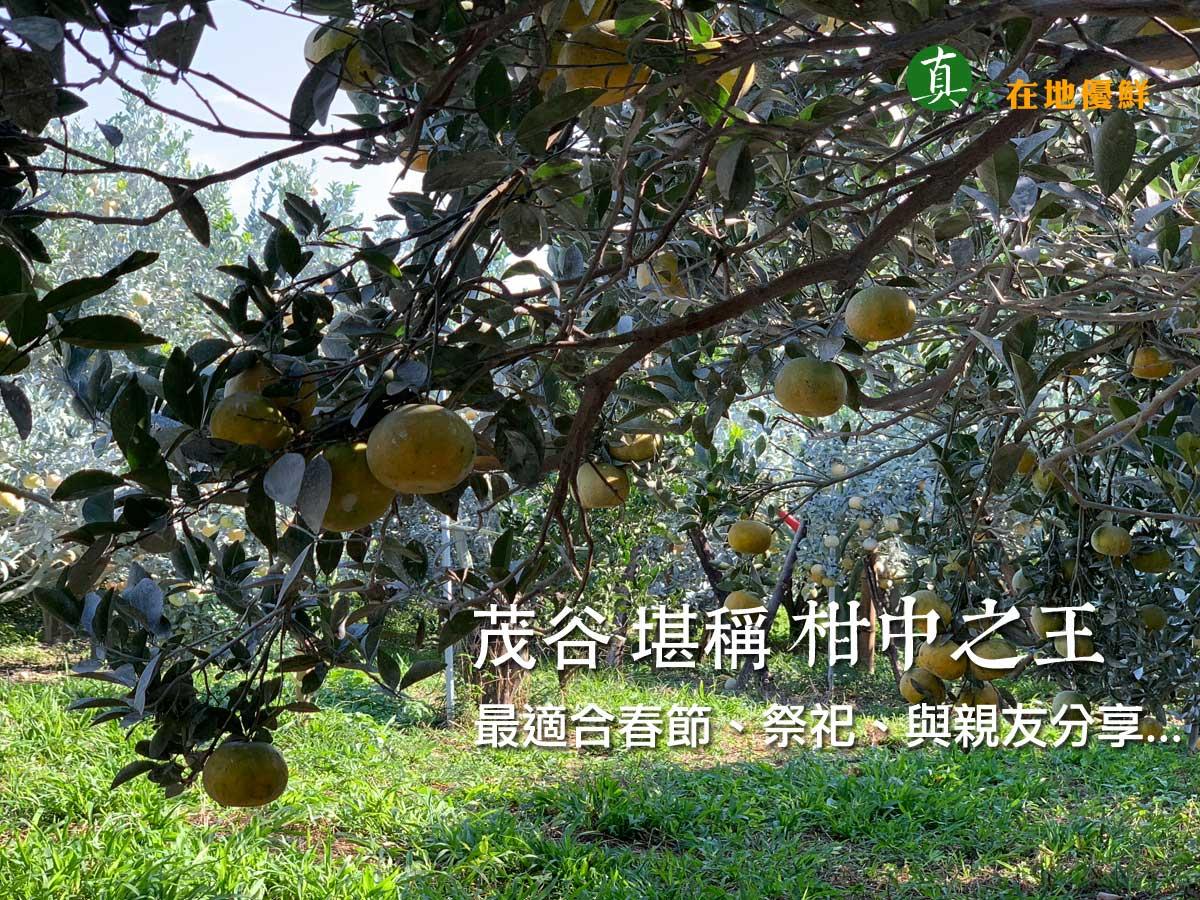 """斗六地區的文旦全台知名,媲美台南麻豆,所以當地的果農用種植文旦的""""SOP""""來種植茂谷柑,自然是非常非常非常之優…"""