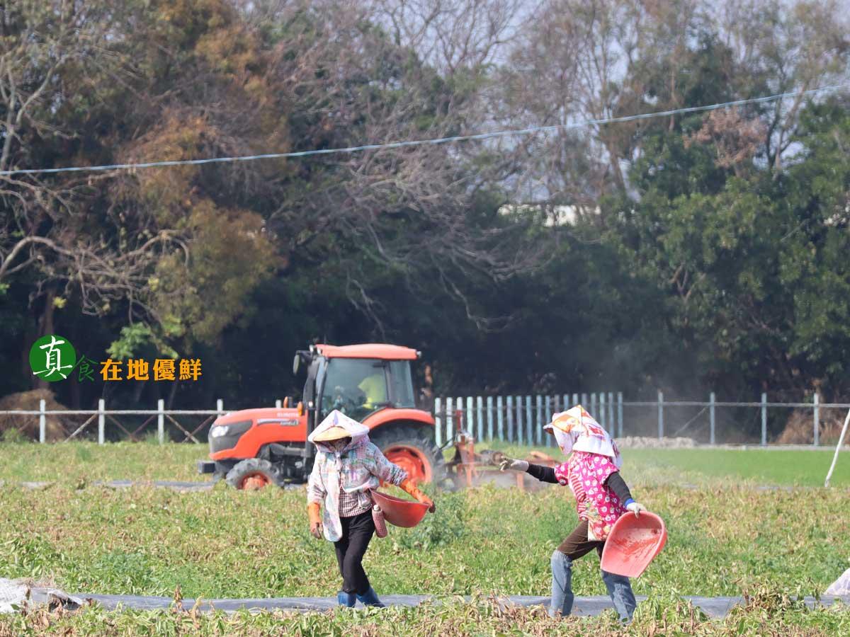 年後是馬鈴薯採收的季節,讓整個村子熱閙忙碌起來…