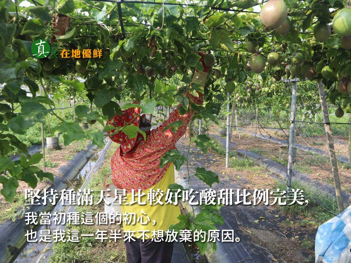 滿天星百香果園採收,農職人是農村文化的核心,沒有農人就沒有農村文化,活絡農村,把所有的利潤和機會留在農村,您的選擇讓這個『善循環』永續…。