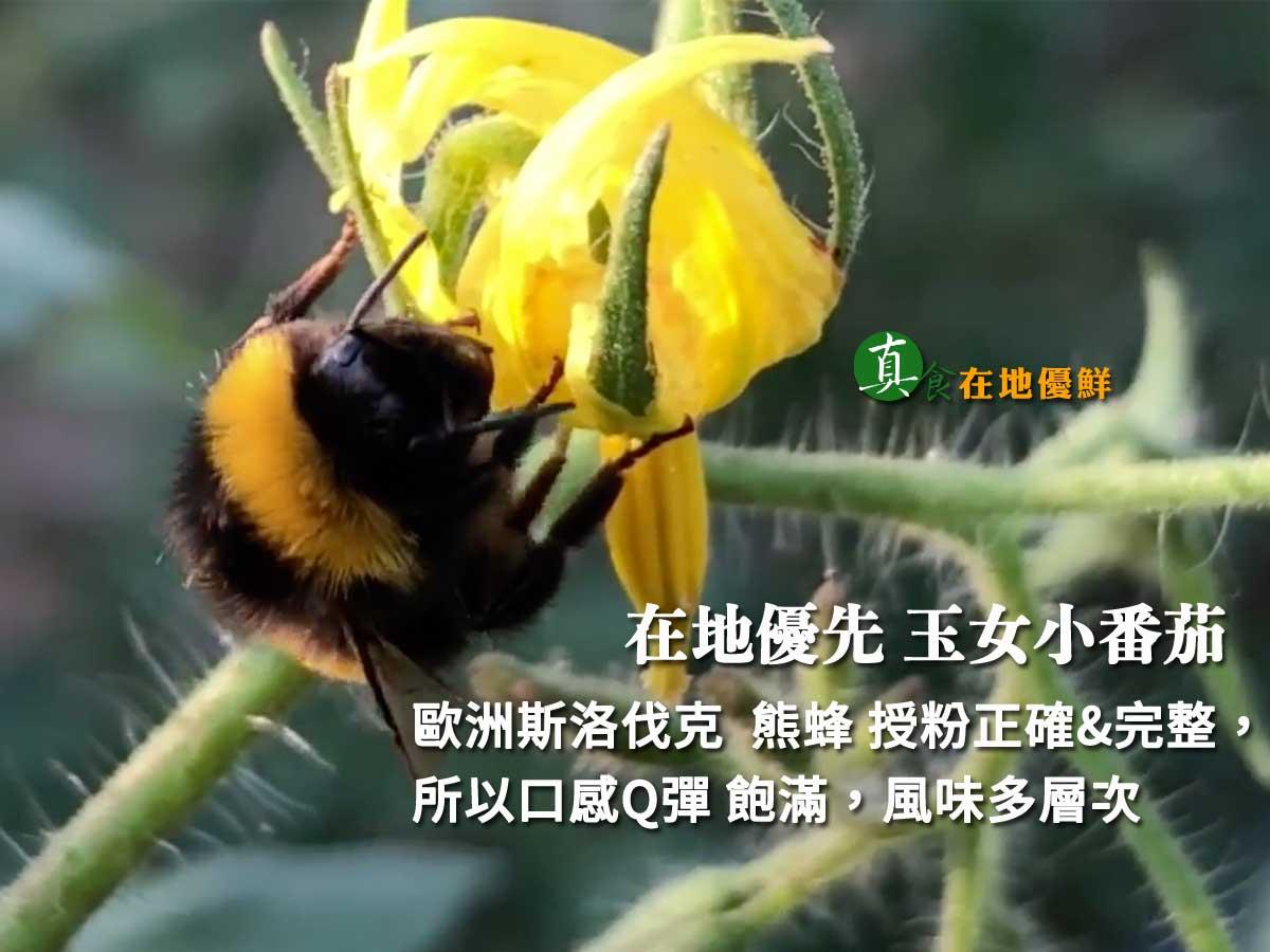 ▲▲▲ 歐洲來的 熊蜂,個大體力強,勤勞 採蜜也會採粉,工作面積大又密,所以每一個玉女小番茄的授粉正確又完整,讓小番茄形美味更美。
