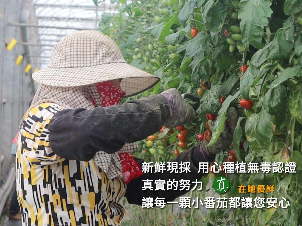 ▲▲▲每日新鮮現採,認真的努力讓每一顆小番茄都發光…